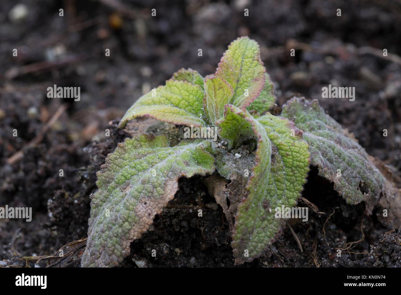 Roter Fingerhut, Blatt, Blätter, Blattrosette, Digitalis purpurea, Foxglove, Fox-guanto Immagini Stock