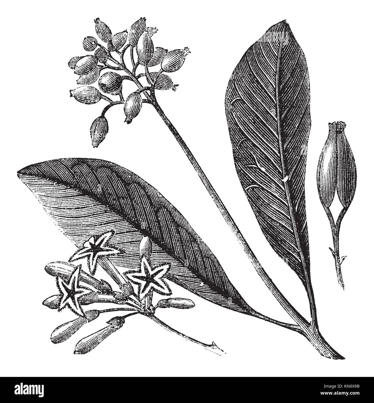 Corteccia giallo China Calisaya o Quina, vintage illustrazioni incise China Calisaya su bianco Trousset enciclopedia Immagini Stock