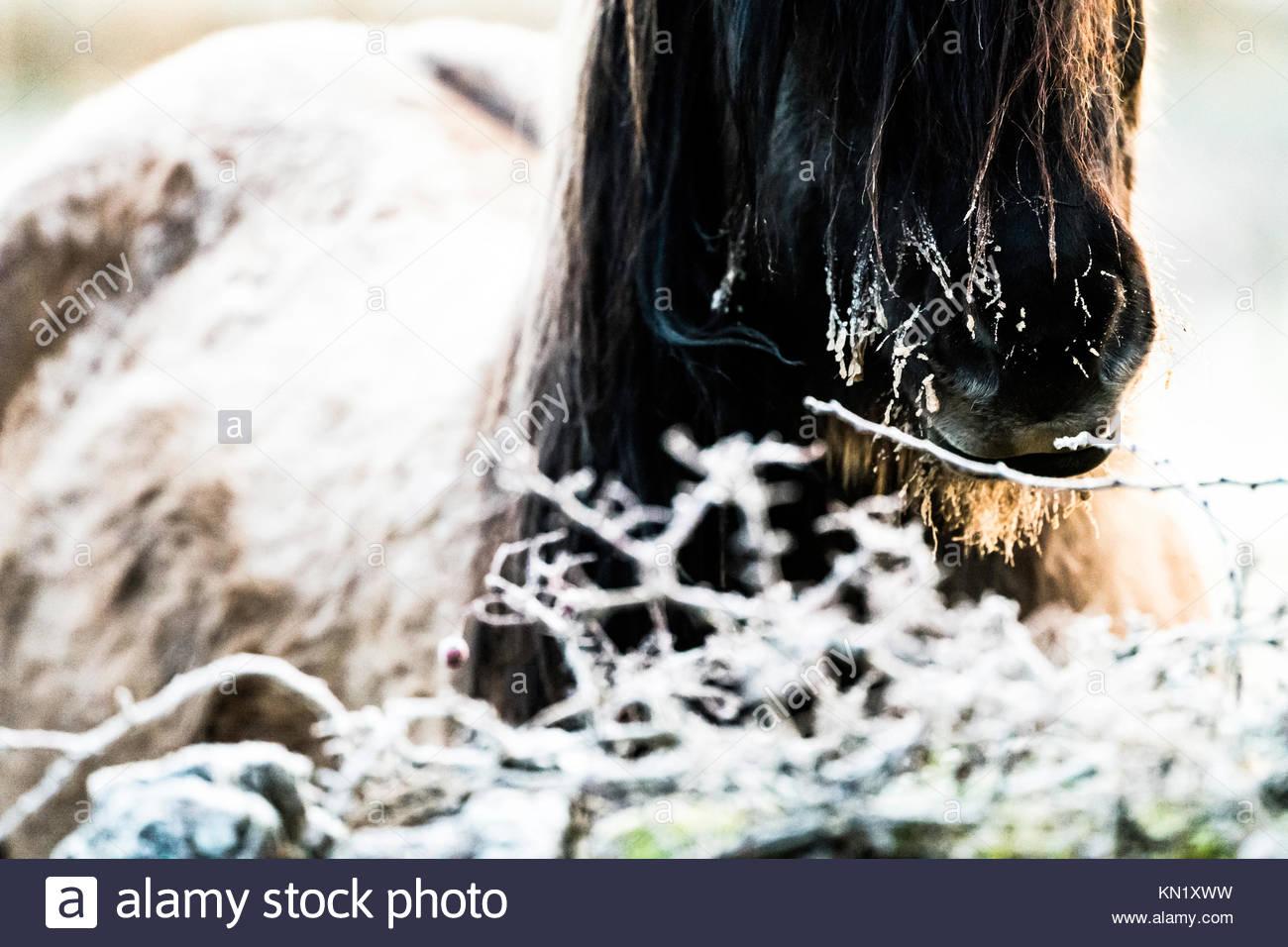 Fattoria Cessford, Morebattle Kelso, Scottish Borders, UK. Il 10 dicembre 2017. Highland pony all'alba sono Immagini Stock