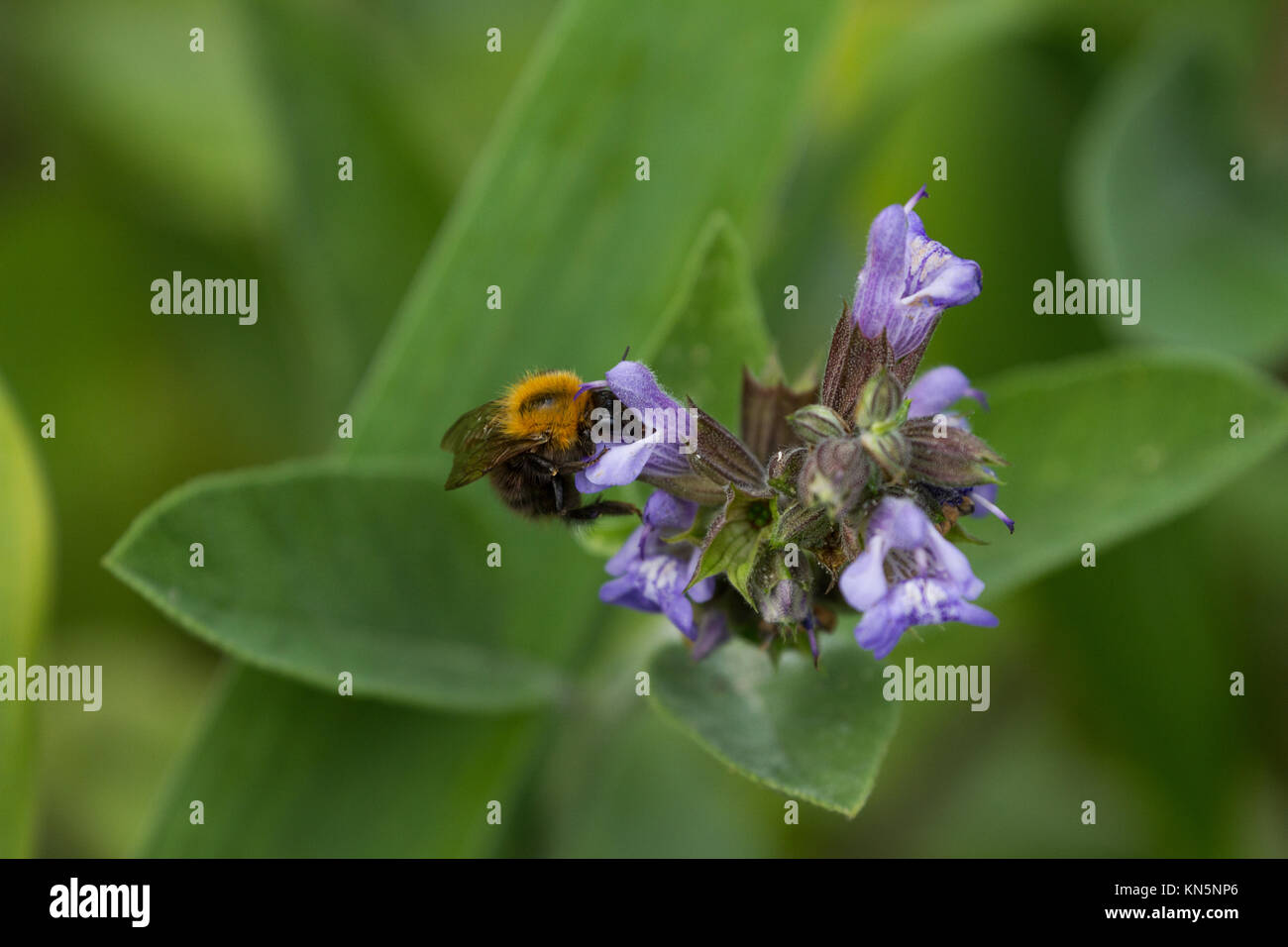 Bumblebee alimentando il nettare dei fiori Immagini Stock