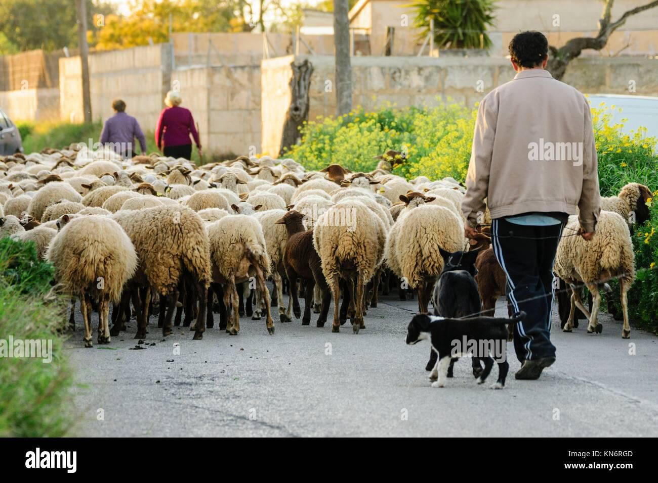 Rebaño de ovejas, Llucmajor, Maiorca, isole Baleari, Spagna Immagini Stock