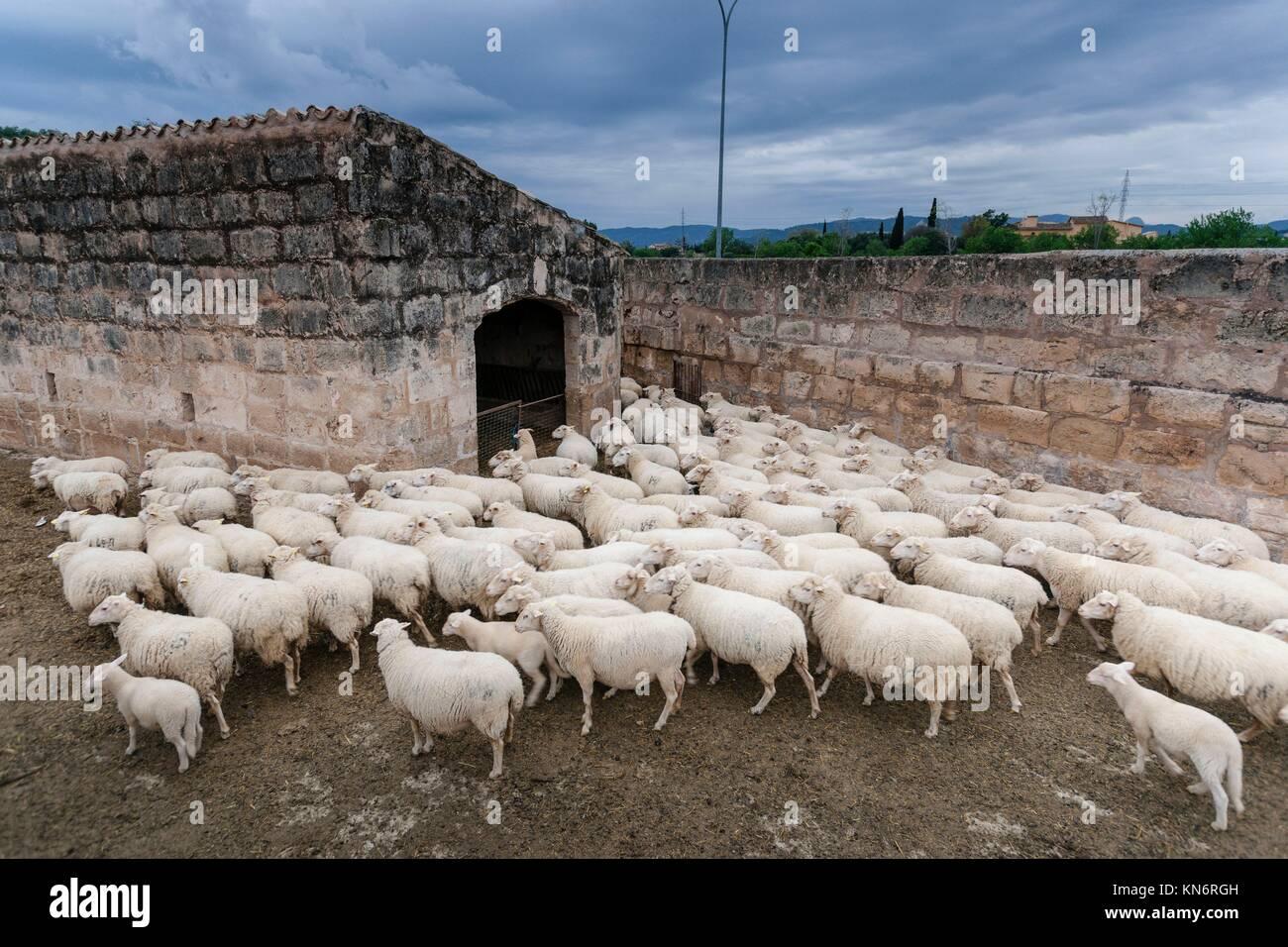Rebaño de ovejas, figlio Ripoll Vell, son sardina, Palma di Maiorca, isole Baleari, Spagna Immagini Stock