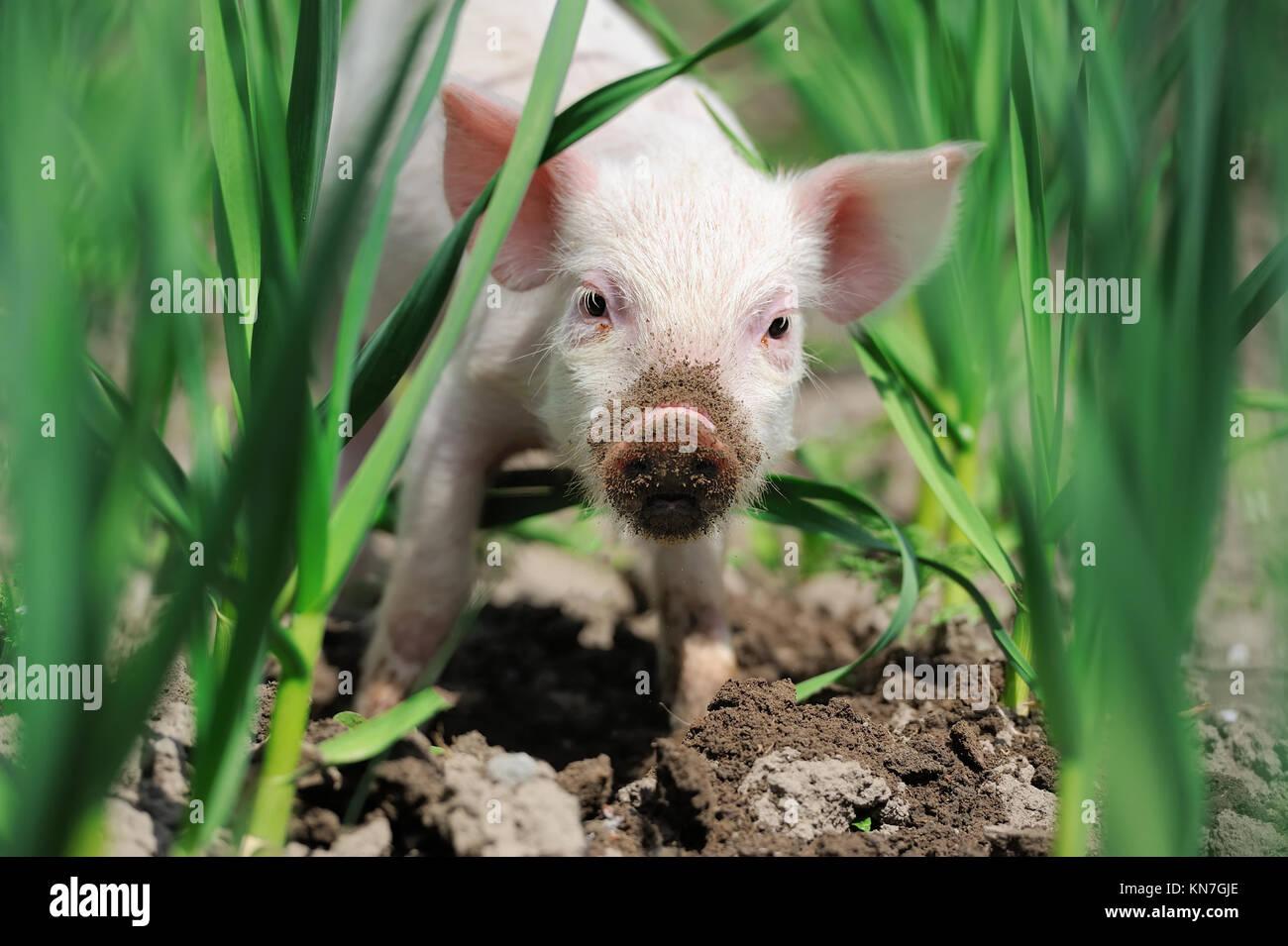 Maialino sulla molla di erba verde in un agriturismo Immagini Stock