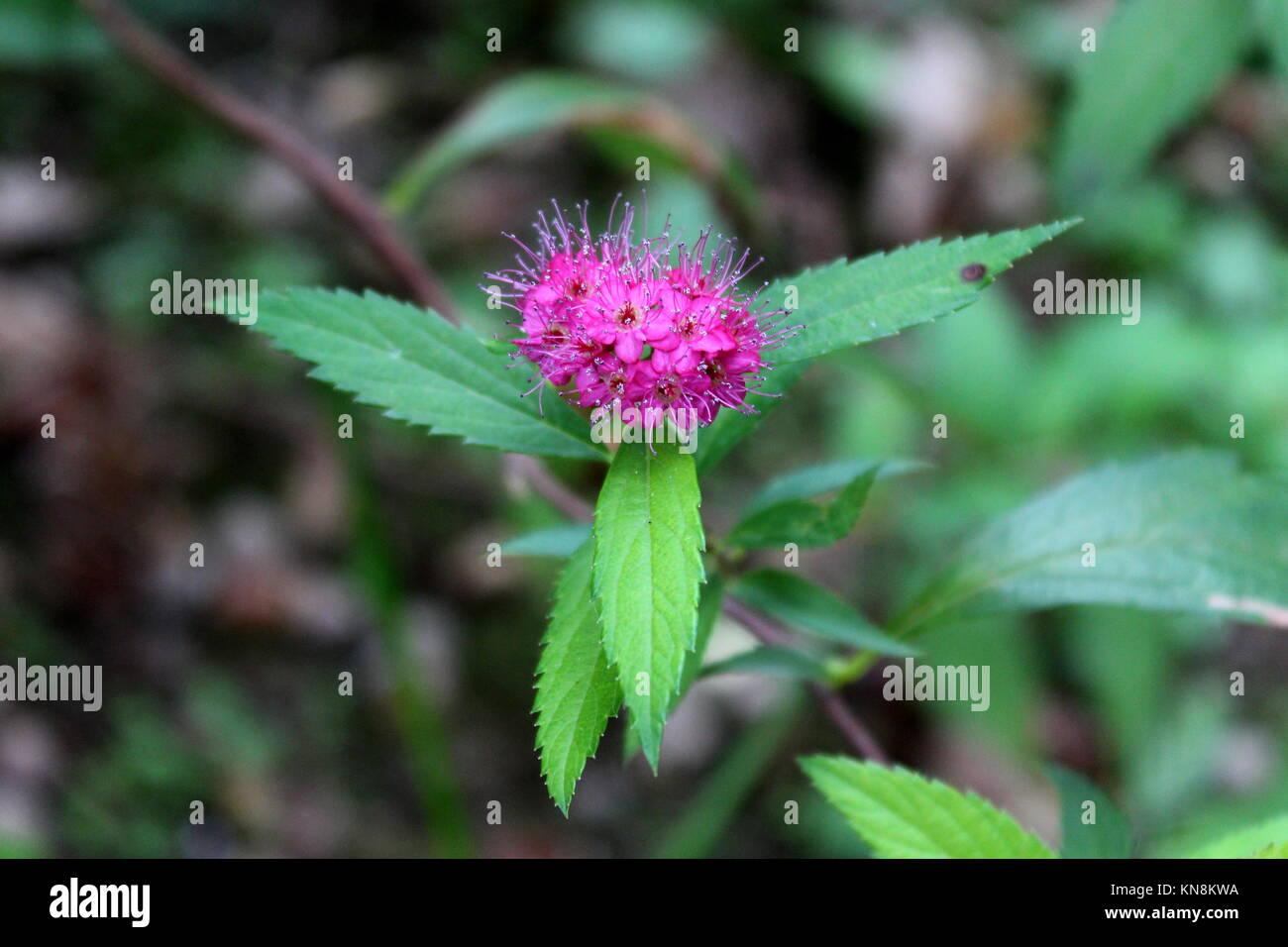 Spiraea japonica o giapponese olmaria bellissima partita di piccoli fiori viola con grandi foglie appuntite su foglie Immagini Stock