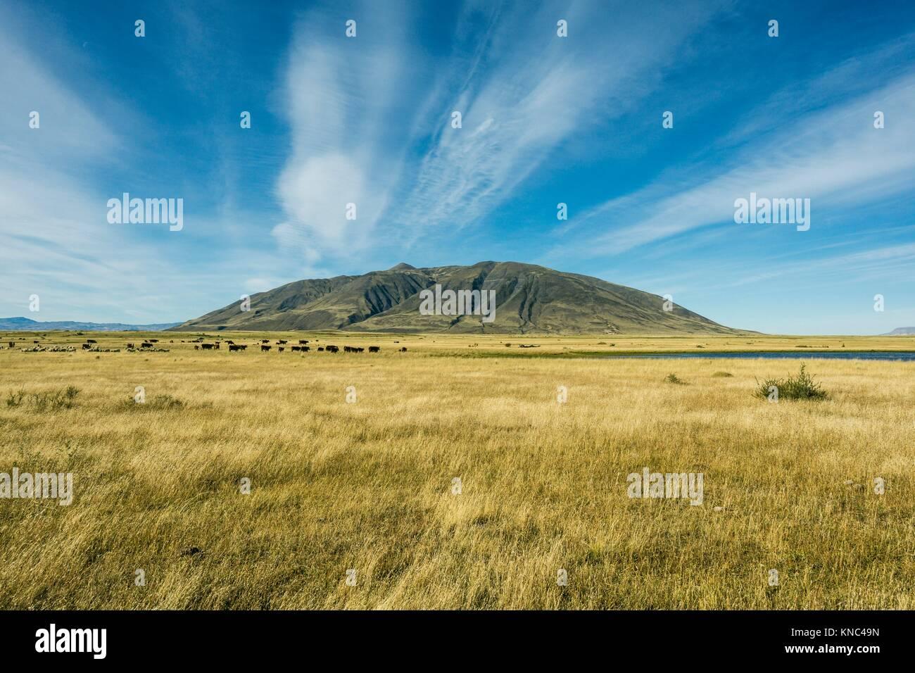 Bovini nella pampa nei pressi del lago Roca, Patagonia, Argentina. Immagini Stock