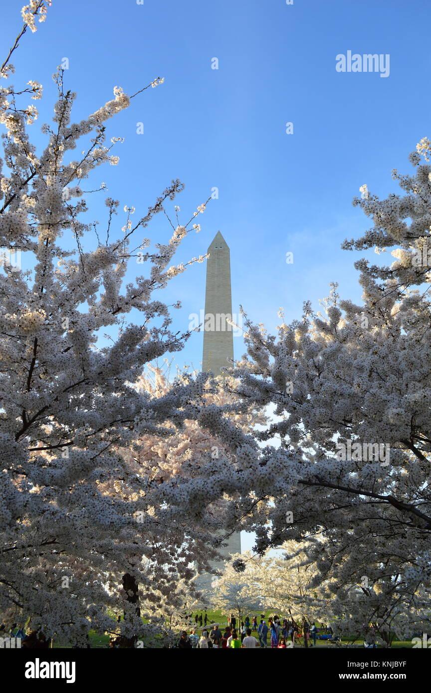 Washignton DC, Columbia, Stati Uniti d'America - 11 Aprile 2015: Washington DC-monumento-Cherry Blossom Immagini Stock