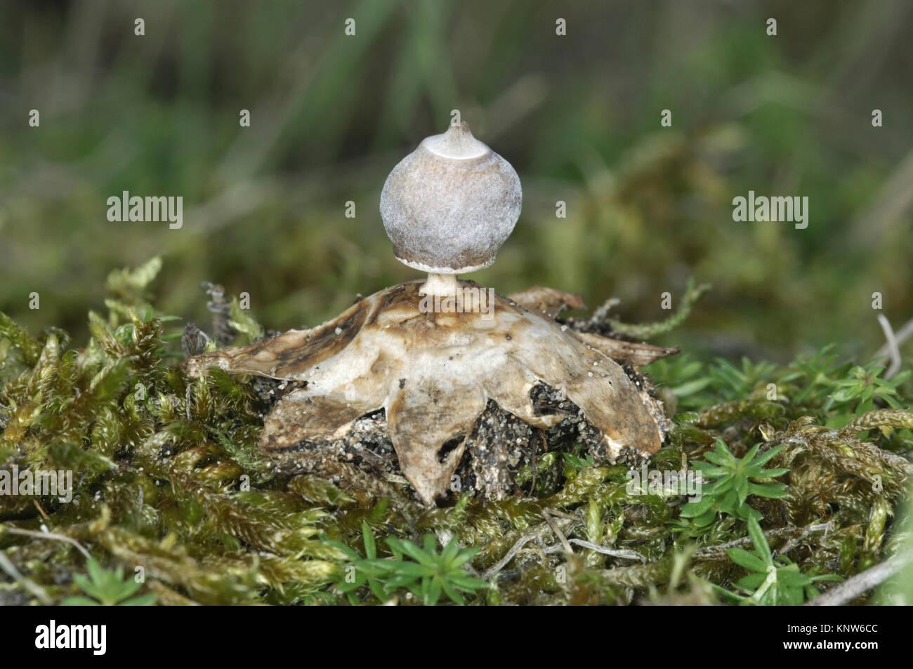 Tiny Earthstar - Geastrum minimo Foto Stock