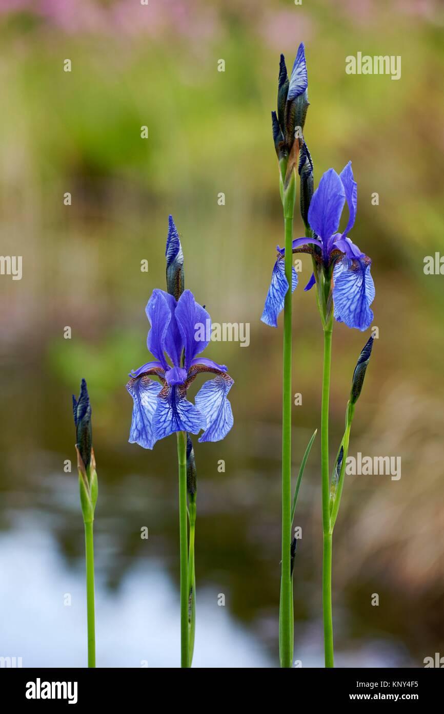 prati-IRIS BLU STAGNO piante laghetto pianta palude Pianta Iris sibirica