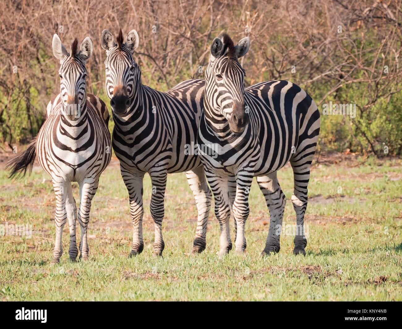 Il Botswana. Zebra. Immagini Stock
