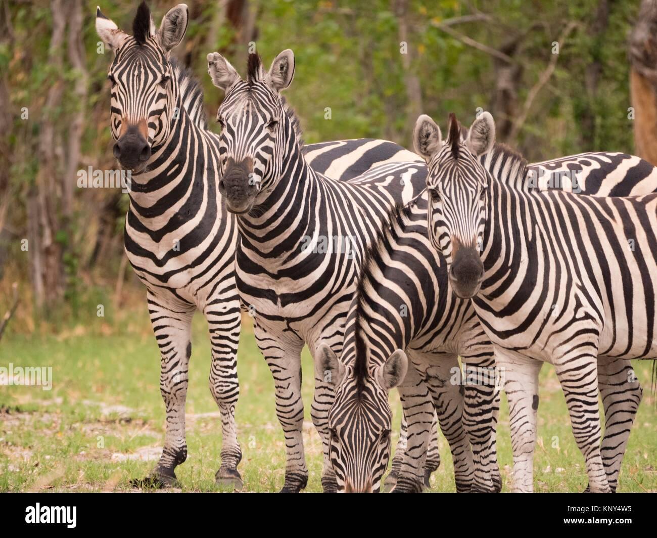 Il Botswana. Zebra abbagliare. Immagini Stock