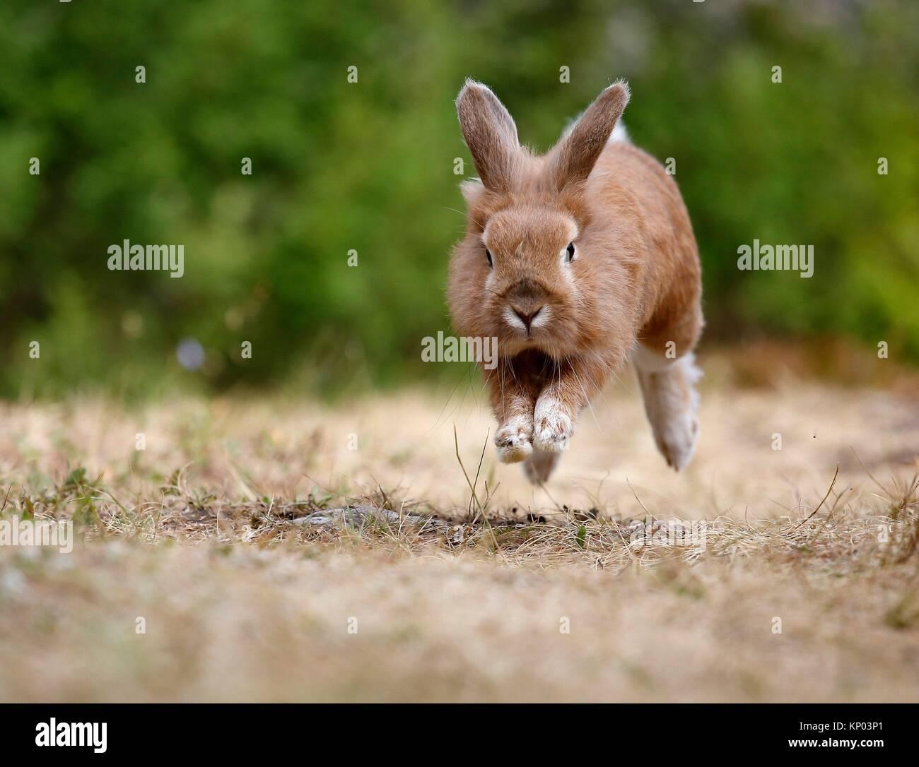 Coniglio in esecuzione Immagini Stock