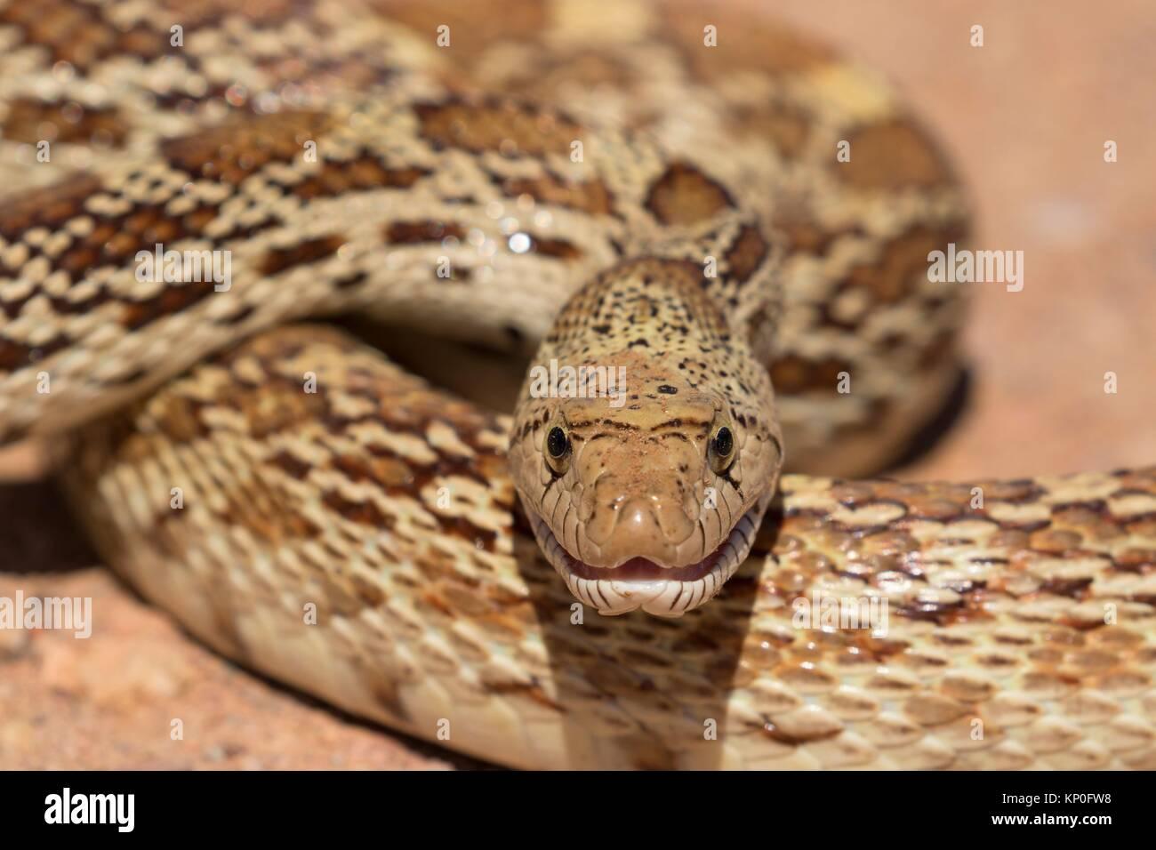 Gopher snake, organo a canne Cactus monumento nazionale, Arizona. Immagini Stock