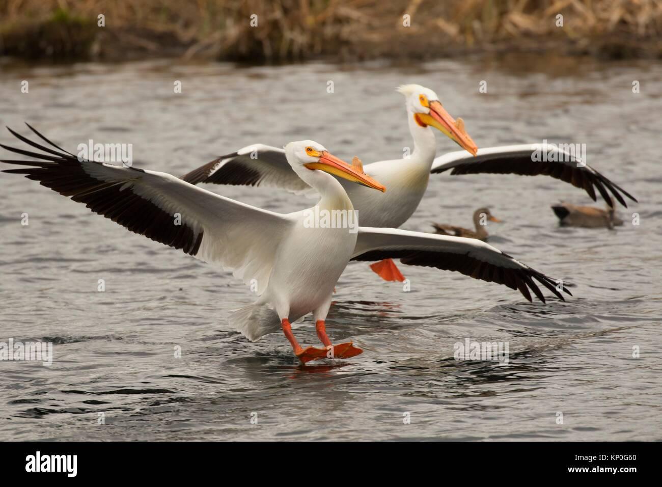 Americano bianco pellicano (Pelecanus erythrorhynchos), Rocky Ford Creek acqua sito di accesso, Washington. Immagini Stock