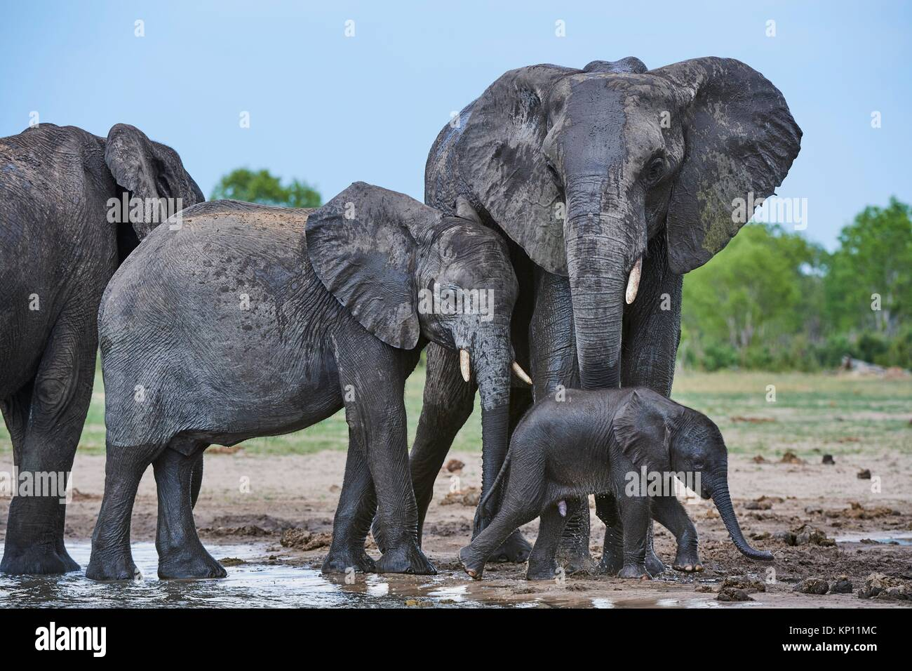 Elefante africano (Loxodonta africana) con un bimbo a bere a watehole. Parco Nazionale di Hwange, Zimbabwe. Immagini Stock