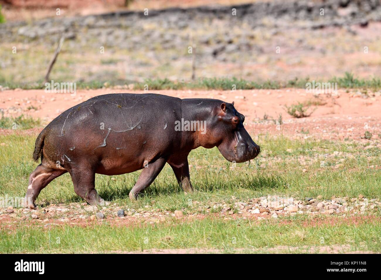 Ippopotamo (ippopotamo) passeggiate in Matusadona National Park, Zimbabwe. Immagini Stock