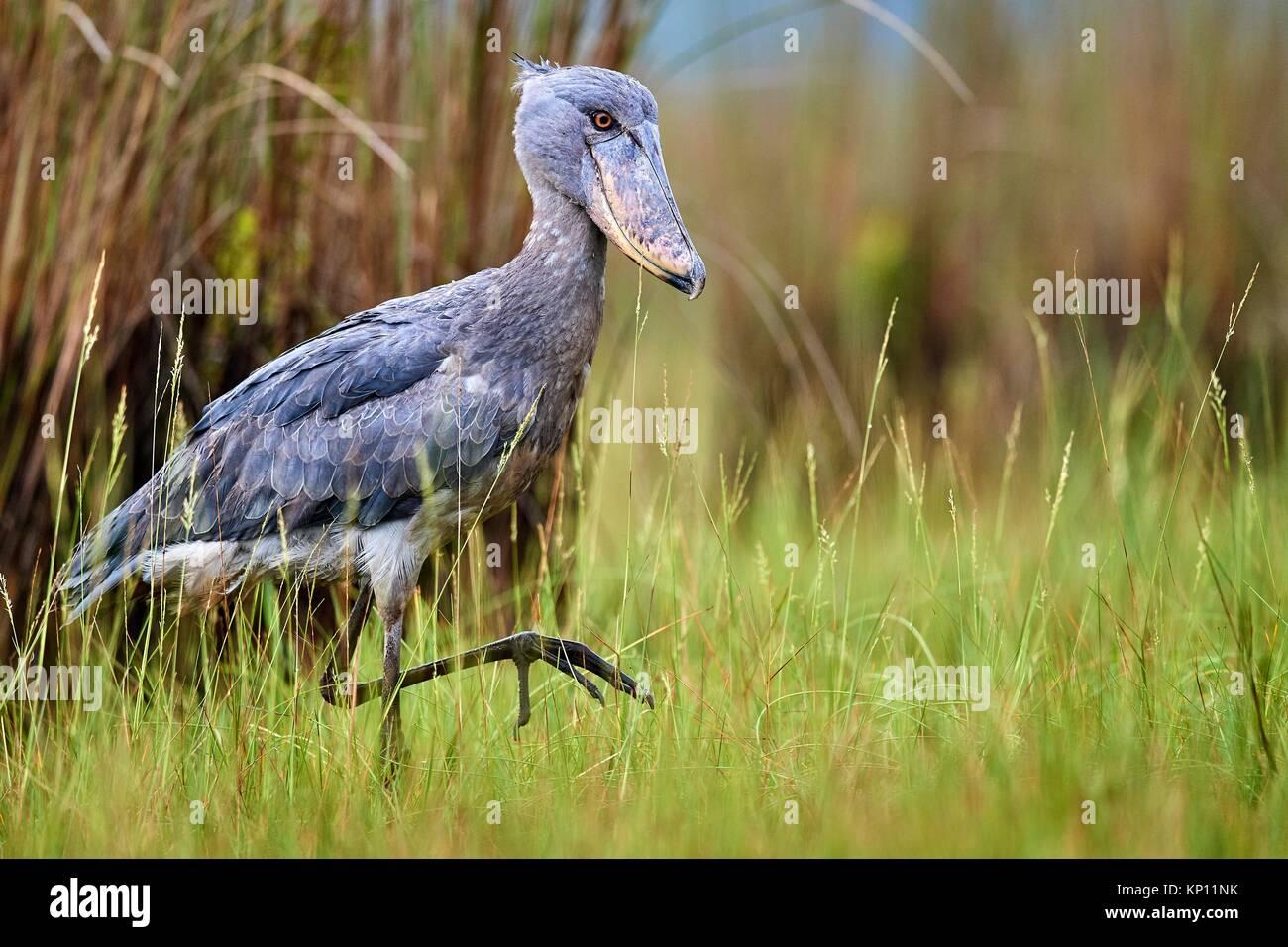 Testa di balena / Shoebill stork (Balaeniceps rex) nelle paludi di Mabamba, il lago Victoria, Uganda. Immagini Stock