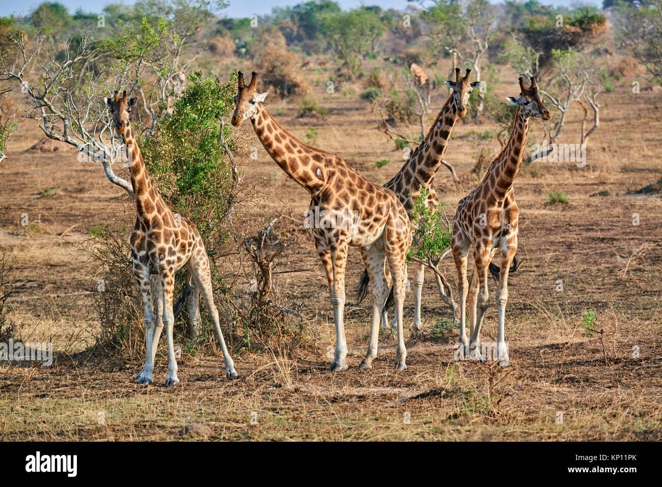 La Rothschild giraffe (Giraffa camelopardalis rothschildi) in Murchisson Falls National Park, Uganda. Immagini Stock