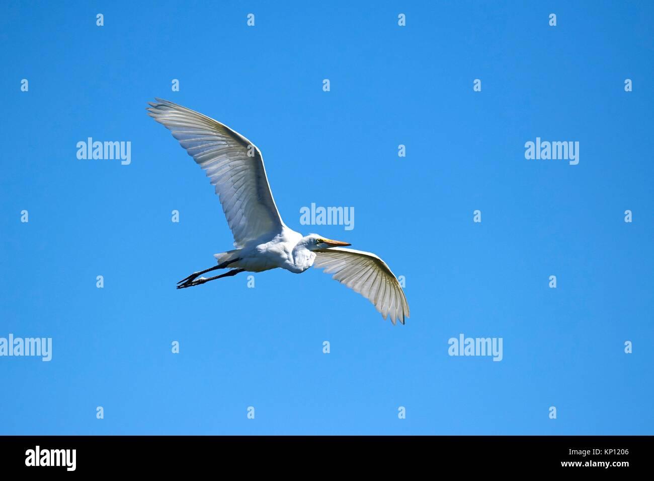 Airone bianco maggiore battenti (Ardea alba), Moremi National Park, Okavango Delta, Botswana, Sud Africa. Immagini Stock