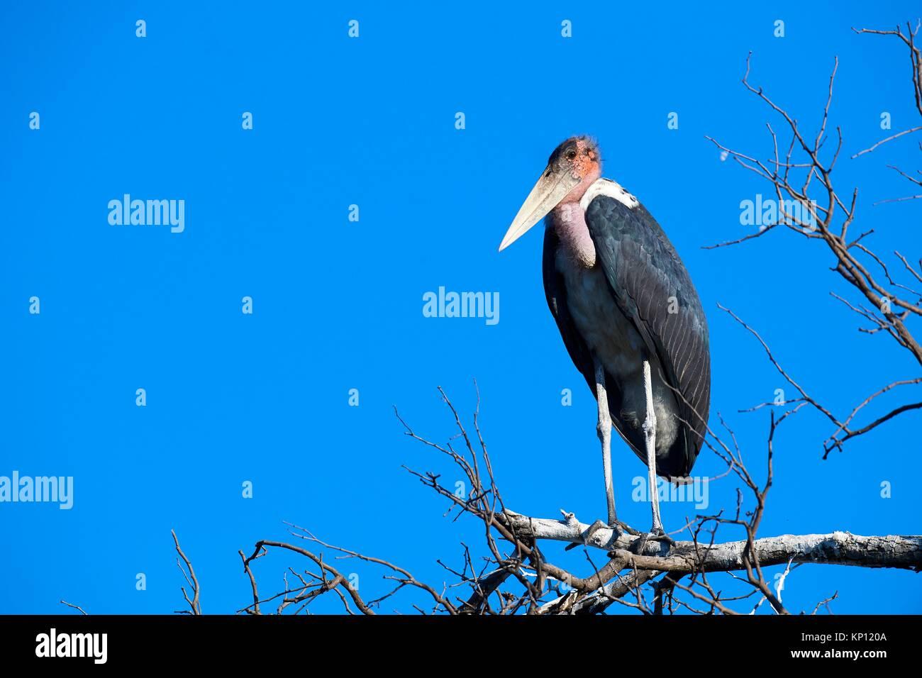 Marabou stork (Milvus aegyptius) appollaiato sul ramo. Moremi National Park, Okavango Delta, Botswana, Sud Africa. Immagini Stock