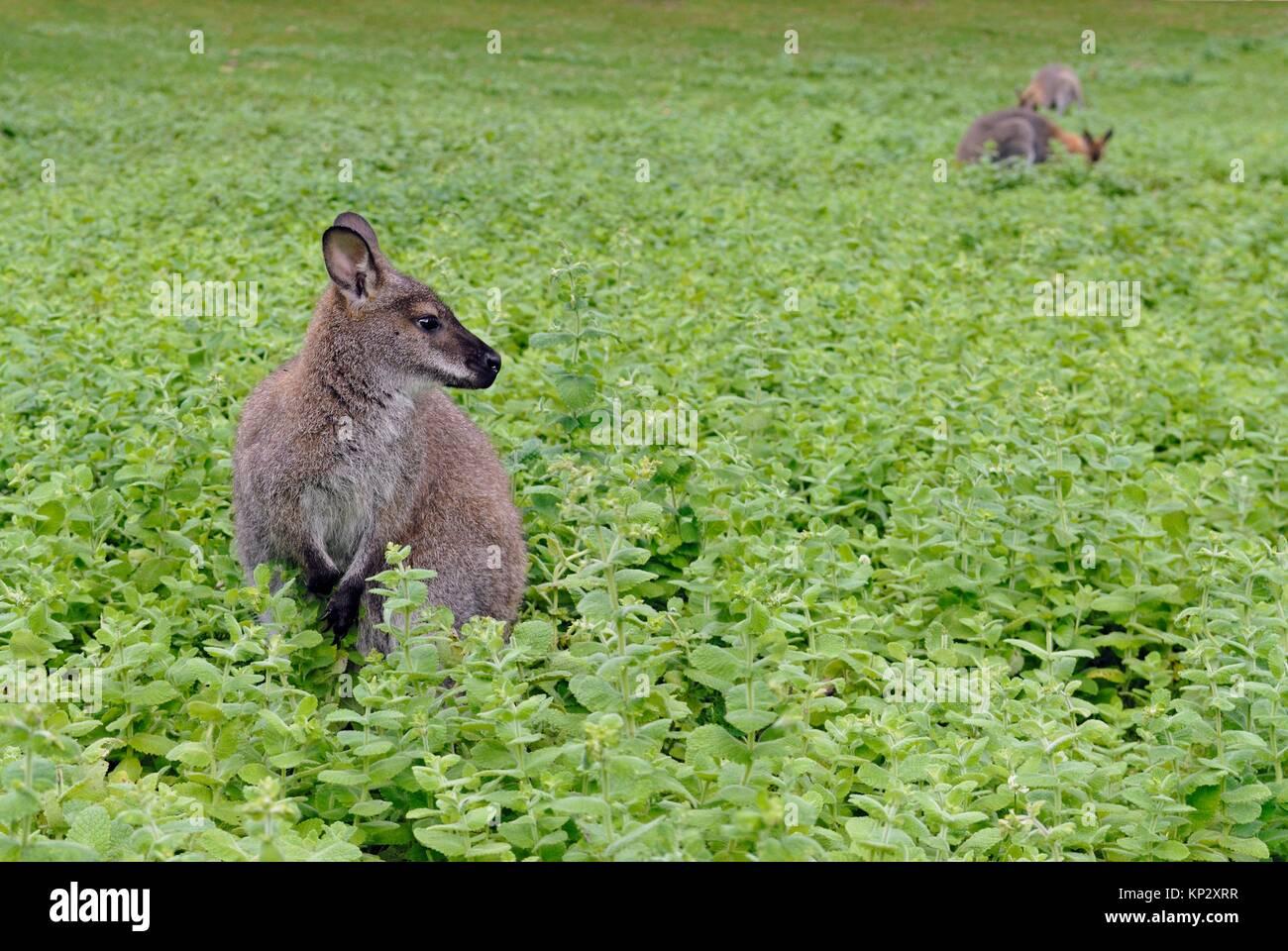 Rosso-un wallaby dal collo (Macropus rufogriseus) nel Parco del Chateau de Sauvage, Emance, Yvelines reparto, regione Immagini Stock