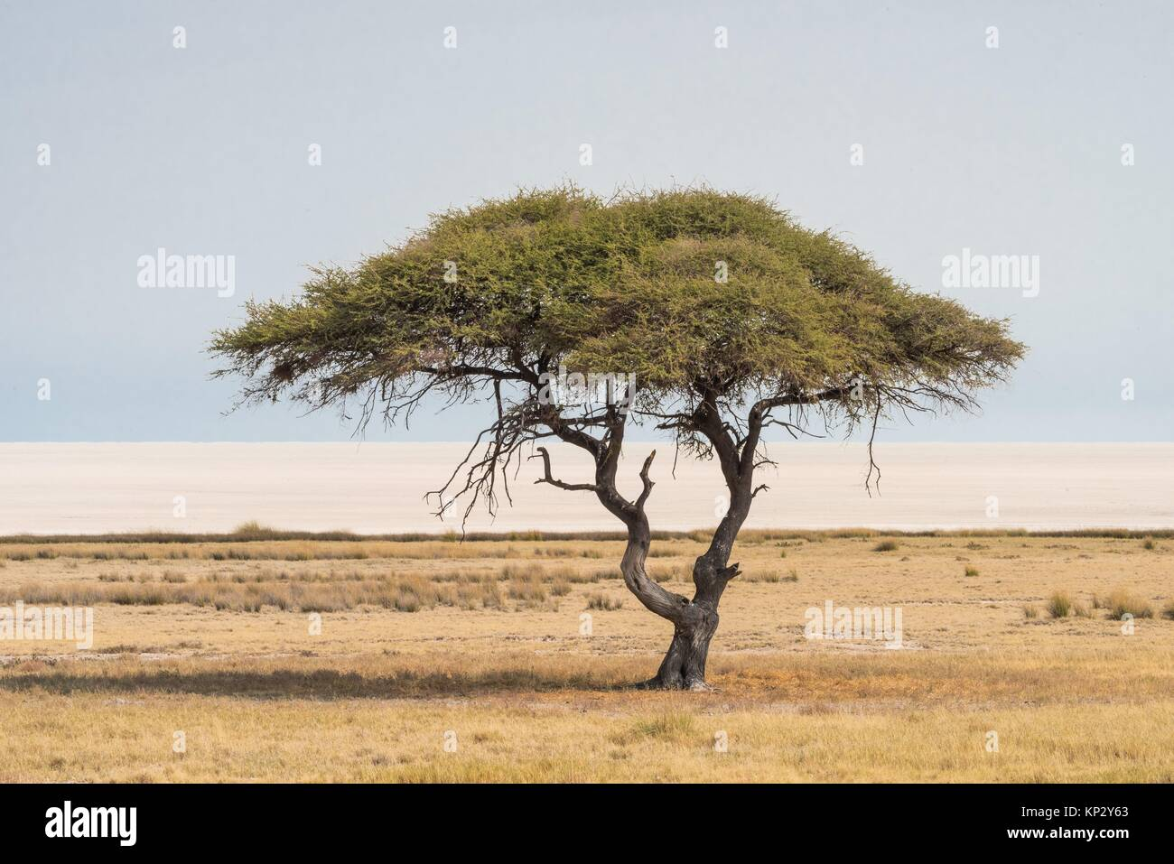 Acacia singolare (Salvadora persica). Il Parco Nazionale di Etosha. La Namibia. Africa Immagini Stock