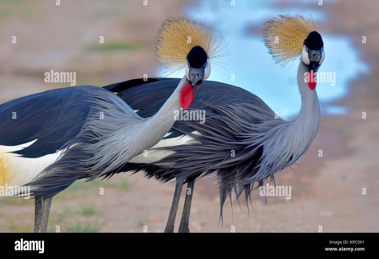 Il Kenya è una destinazione turistica in Africa orientale. Famoso per la fauna selvatica e la bellezza naturale. Foto Stock