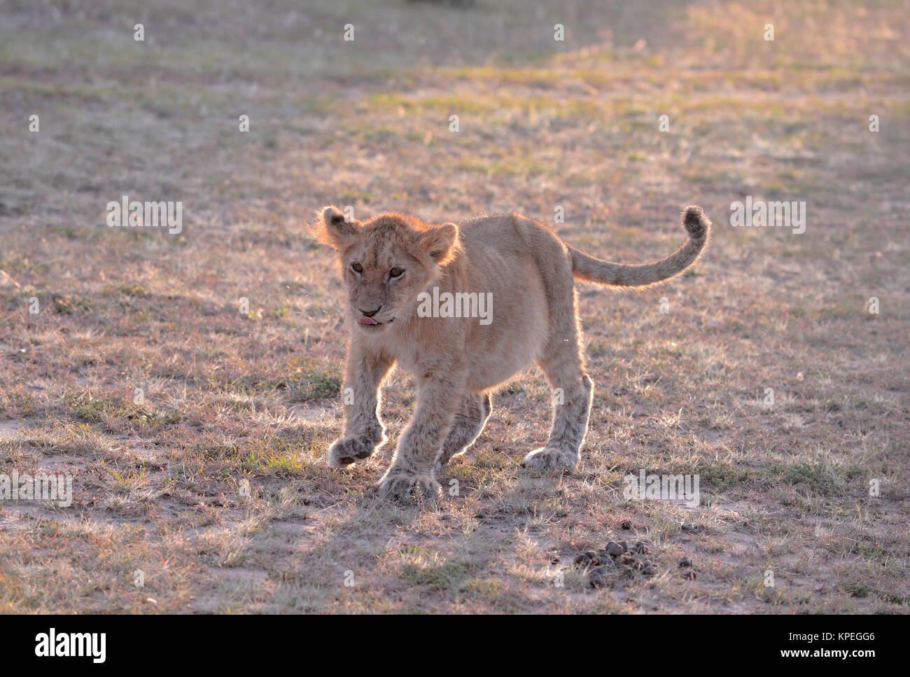 La fauna selvatica nel Maasai Mara, Kenya. Piccolo LION CUB tutti sul suo proprio nella prateria aperta. Immagini Stock