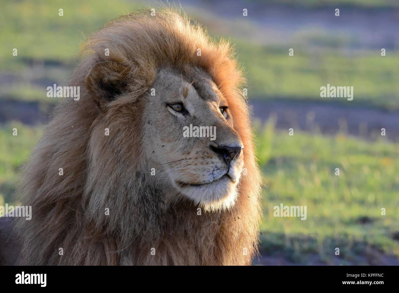 La fauna selvatica sightseeing in una delle principali destinazioni della fauna selvatica su earht -- Serengeti Tanzania.Staring maned lion. Foto Stock