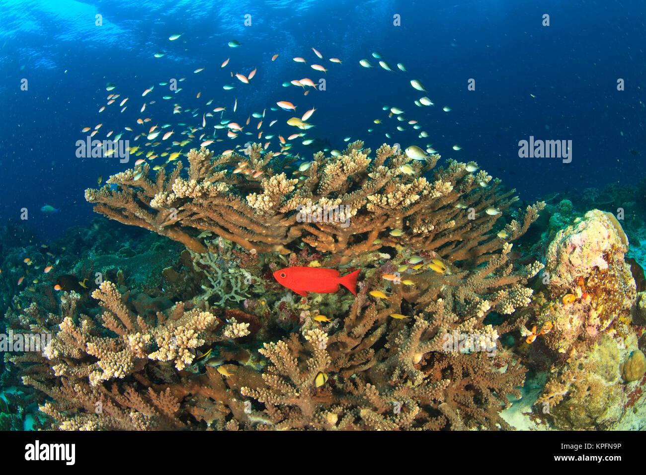 Tonno obeso nasconde sotto coralli duri, Kadola Isola, Gruppo Lucipara, Banda Mare, Indonesia Immagini Stock