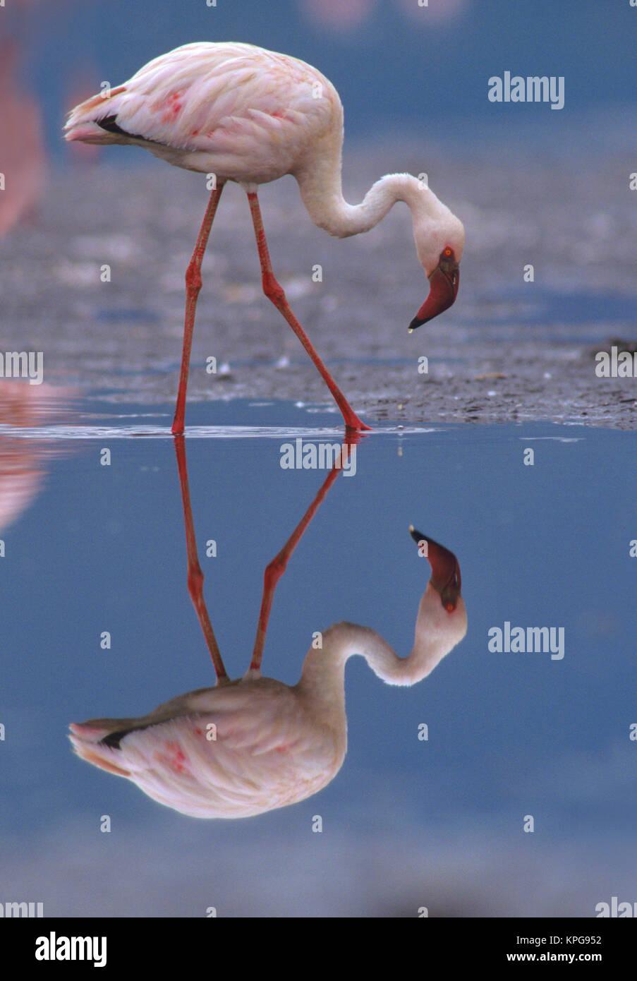 Lesser flamingo (Phoeniconaias minor) e la sua riflessione, Kenya, Africa (formato di grandi dimensioni disponibili) Immagini Stock