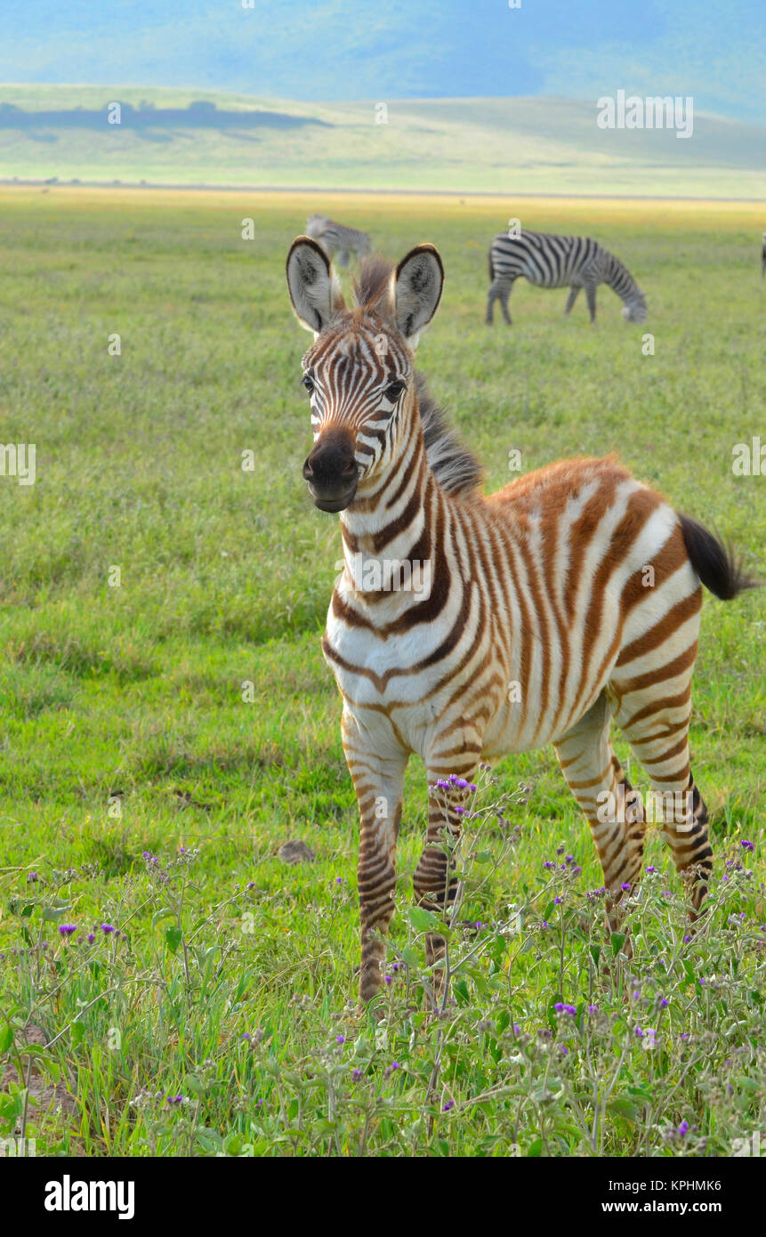 Il cratere di Ngorongoro, un sito del Patrimonio mondiale in Tanzania. Incredibile varietà faunistica per il Immagini Stock