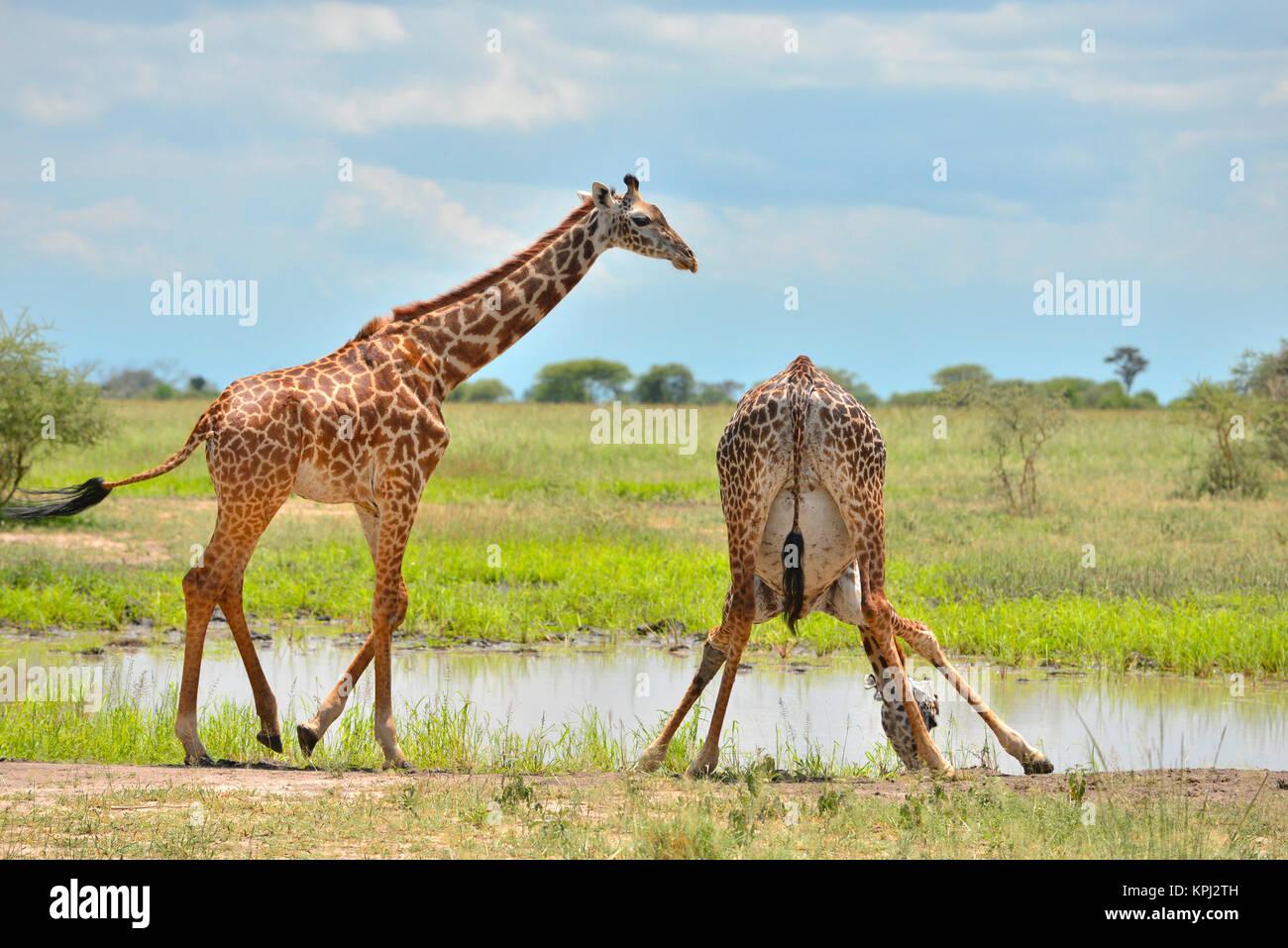 Parco Nazionale di Tarangire e in Tanzania è un tesoro nascosto con il bel paesaggio lungo il fiume Tarangire. Immagini Stock