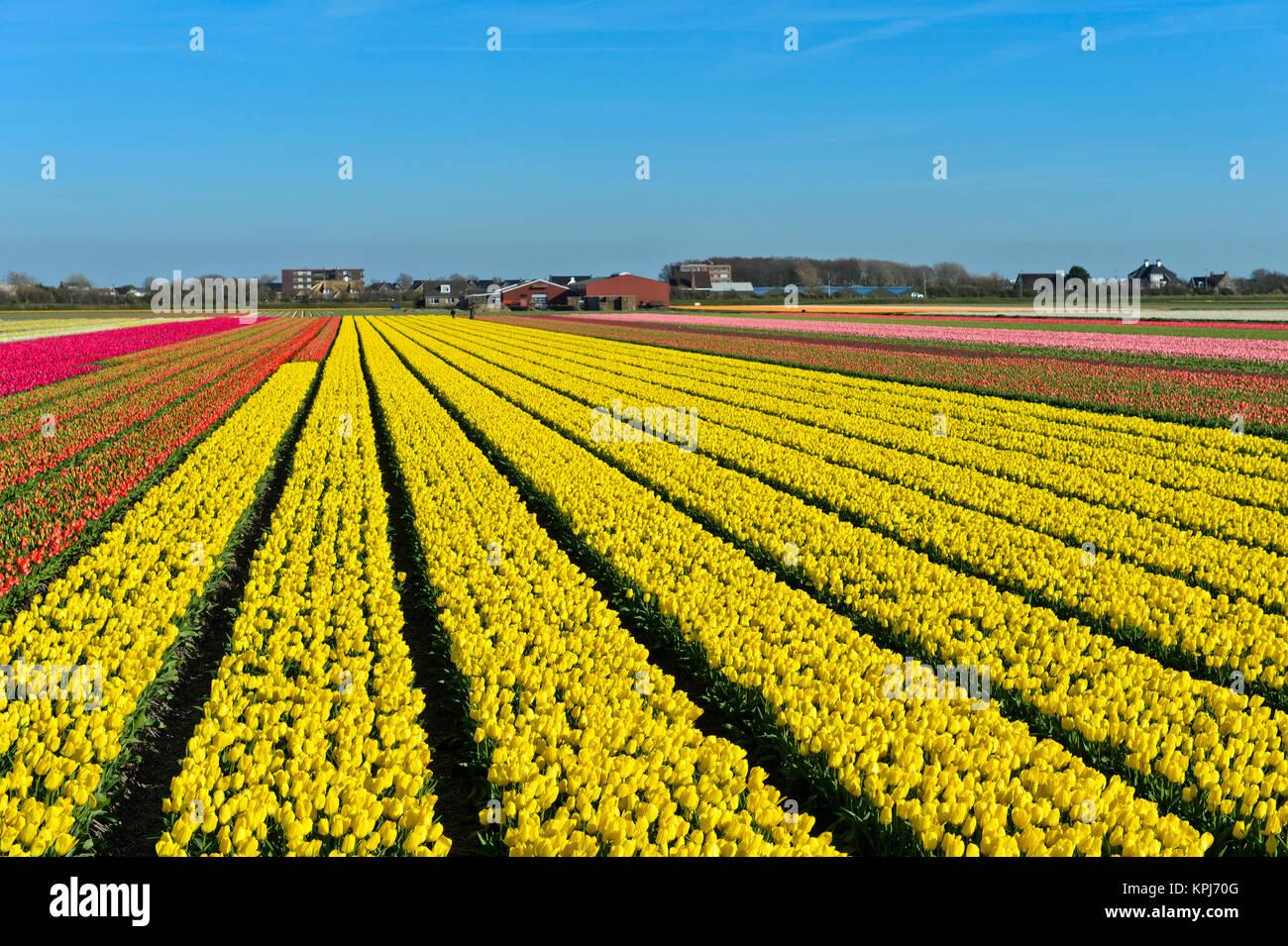 Campo di tulipani gialli, giallo Purissima varietà, produzione di bulbi di fiori, bulbi di fiori Bollenstreek Immagini Stock