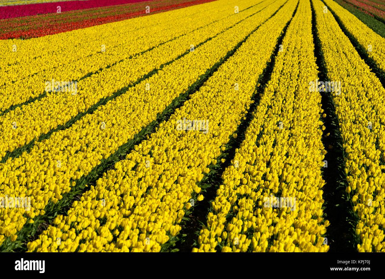 Fiori Gialli Varieta.Campo Di Tulipani Gialli Giallo Purissima Varieta Produzione Di
