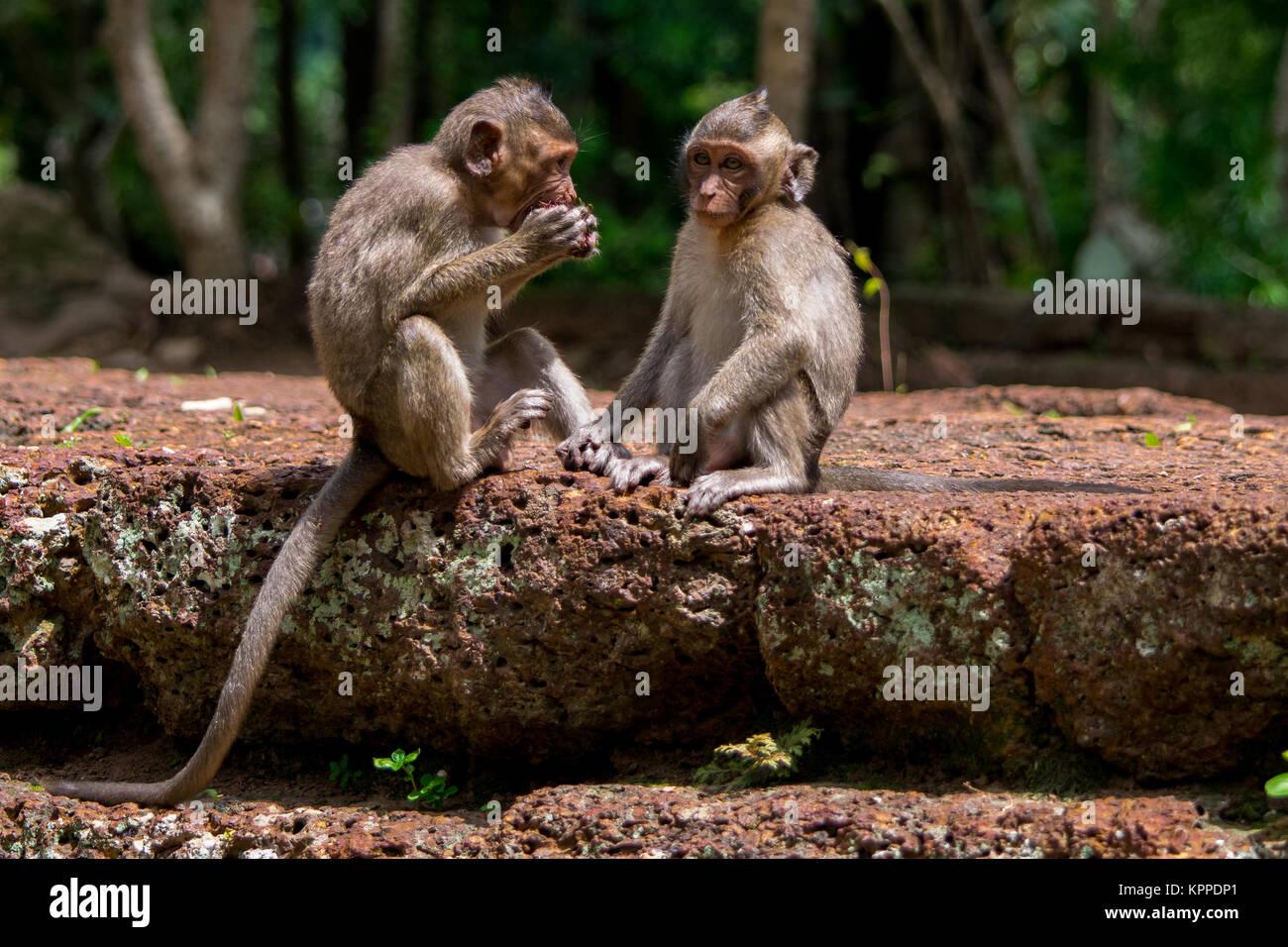 Small Macaque Monkeys Immagini & Small Macaque Monkeys Fotos
