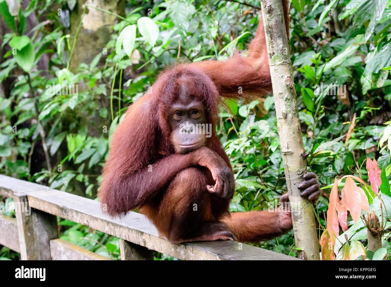 La faccia intelligente di un Orango Tango Immagini Stock