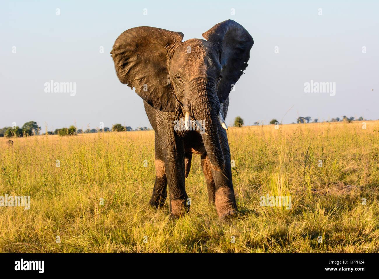 Elefante africano prestando attenzione a guardare da vicino Immagini Stock