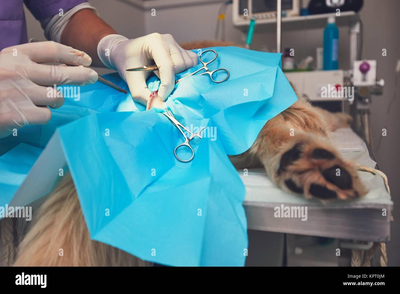 Un cane in ospedale per animali. Veterinario durante la chirurgia del golden retriever. Immagini Stock