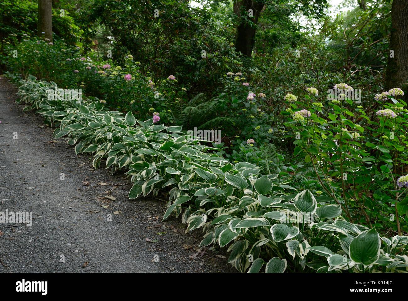 Hosta fortunei variegata,linea,fodera,percorso,sentiero,legno,woodland,all'ombra,ombroso ombreggiate,hosta,RM Floral Foto Stock