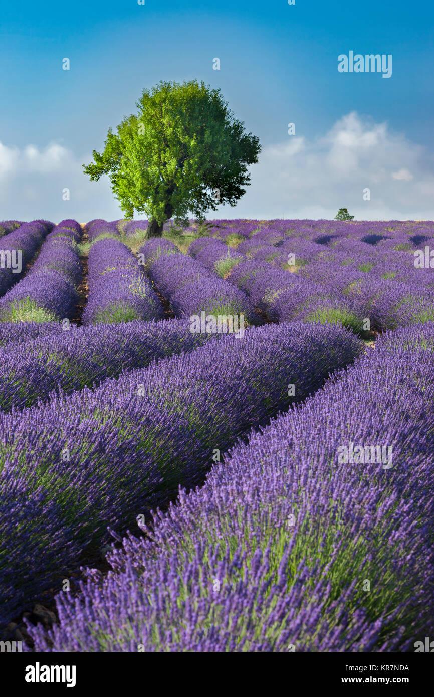 Righe di lavanda lungo l'altopiano di Valensole, Alpes-de-Haute-Provence, Provenza Francia Immagini Stock