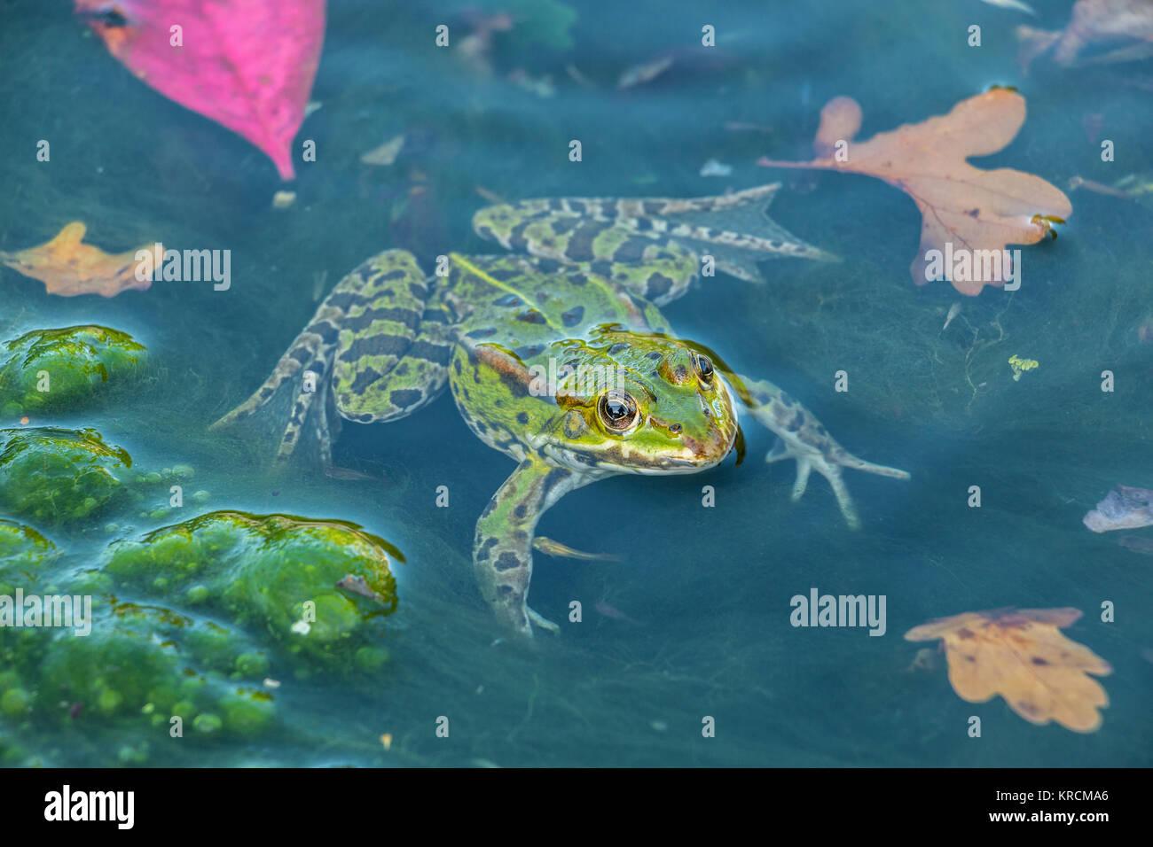 Rana verde nell'acqua pieno di frogspawn Foto Stock