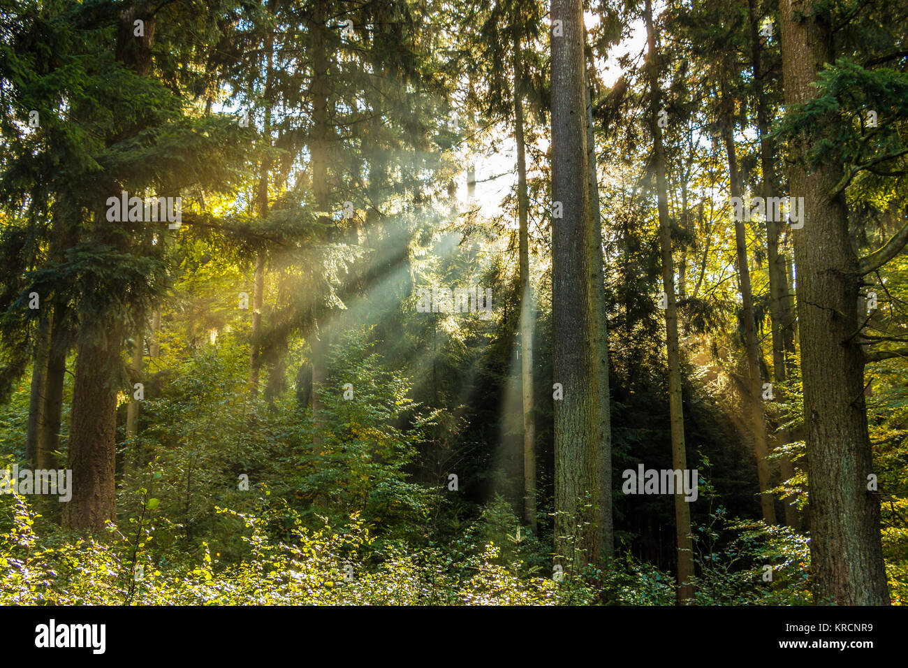 Sunray attraverso il verde di alberi della foresta Immagini Stock