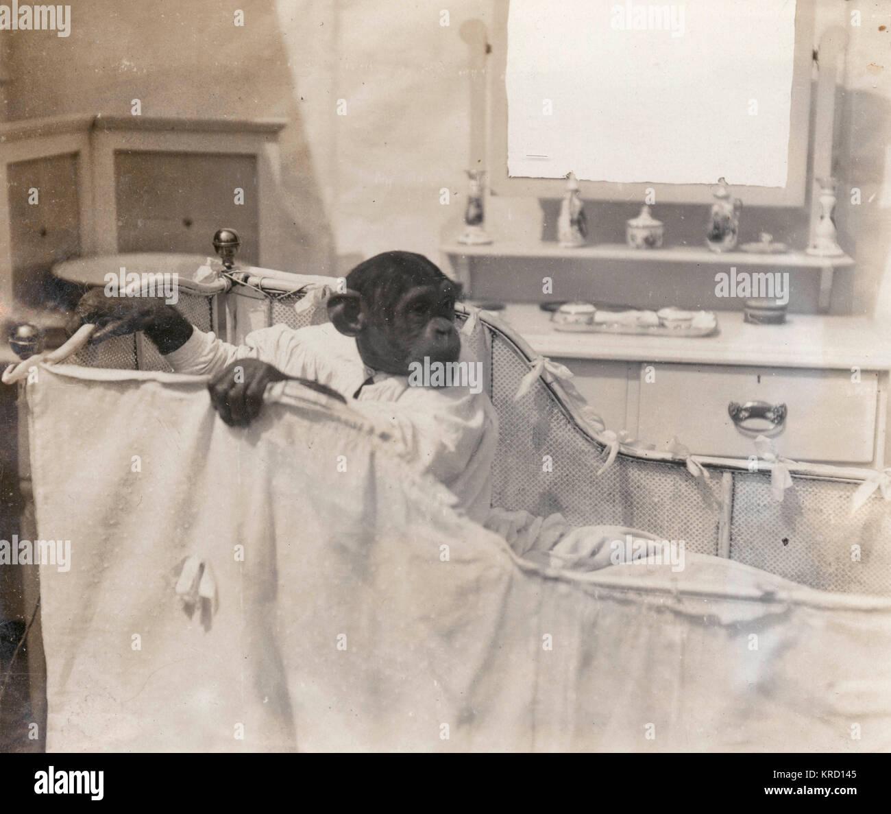Un intelligente di uno scimpanzé di nome Consul apparso come parte di Bostock la giungla in Earls Court Exhibition. Immagini Stock