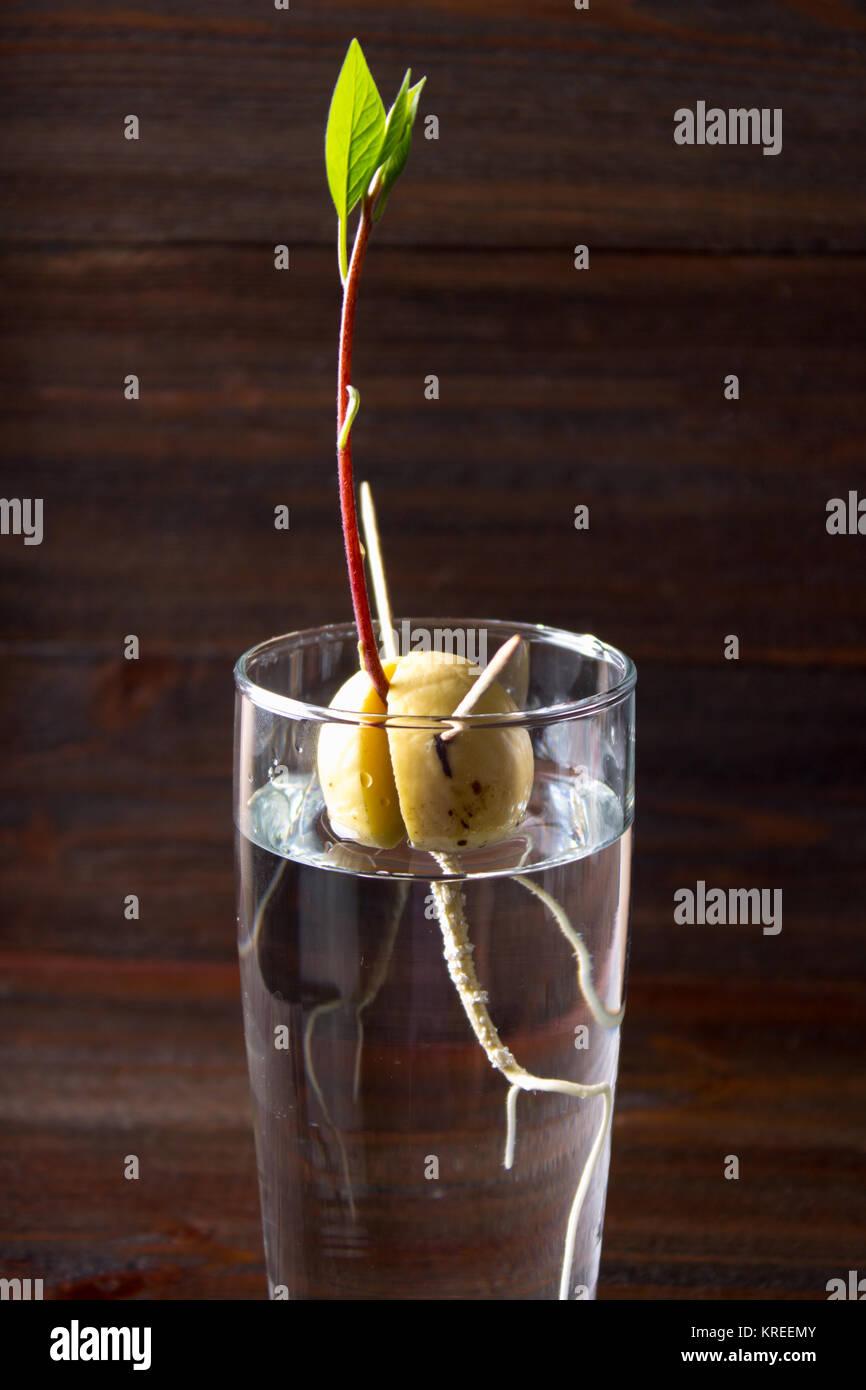 Nocciolo Di Avocado In Acqua coltivando un albero di avocado dalle sementi immagini