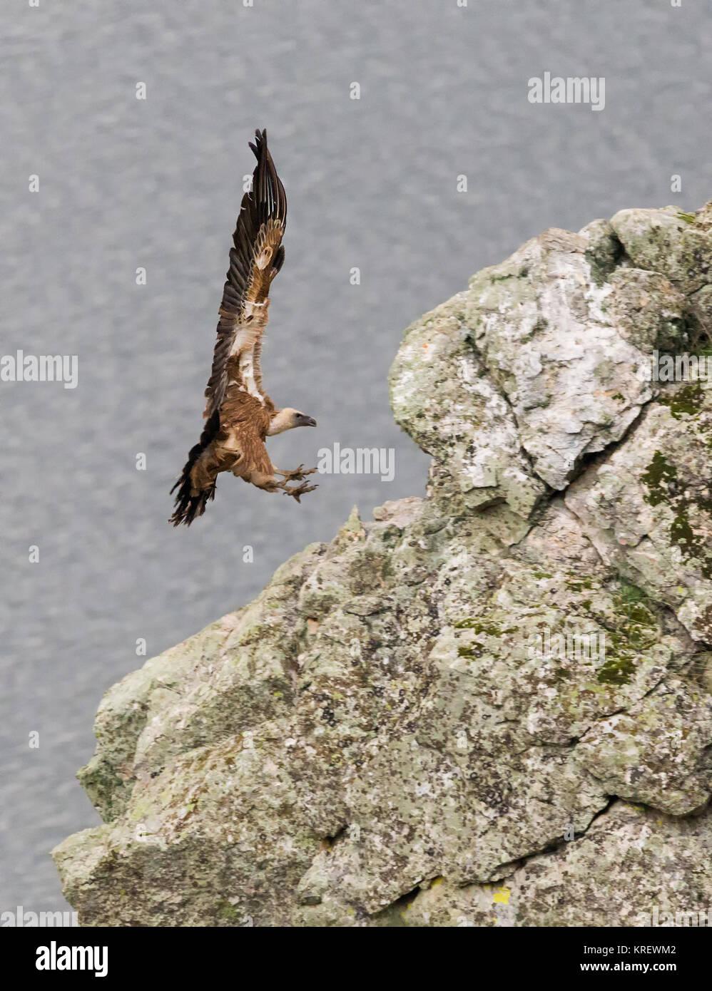 Avvoltoio grifone . Fotografato presso il Parco Nazionale di Monfragüe. Spagna. Immagini Stock