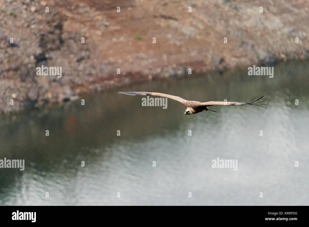 Avvoltoio grifone fotografato in Monfrague Parco Nazionale. Extremadura. Spagna. Immagini Stock