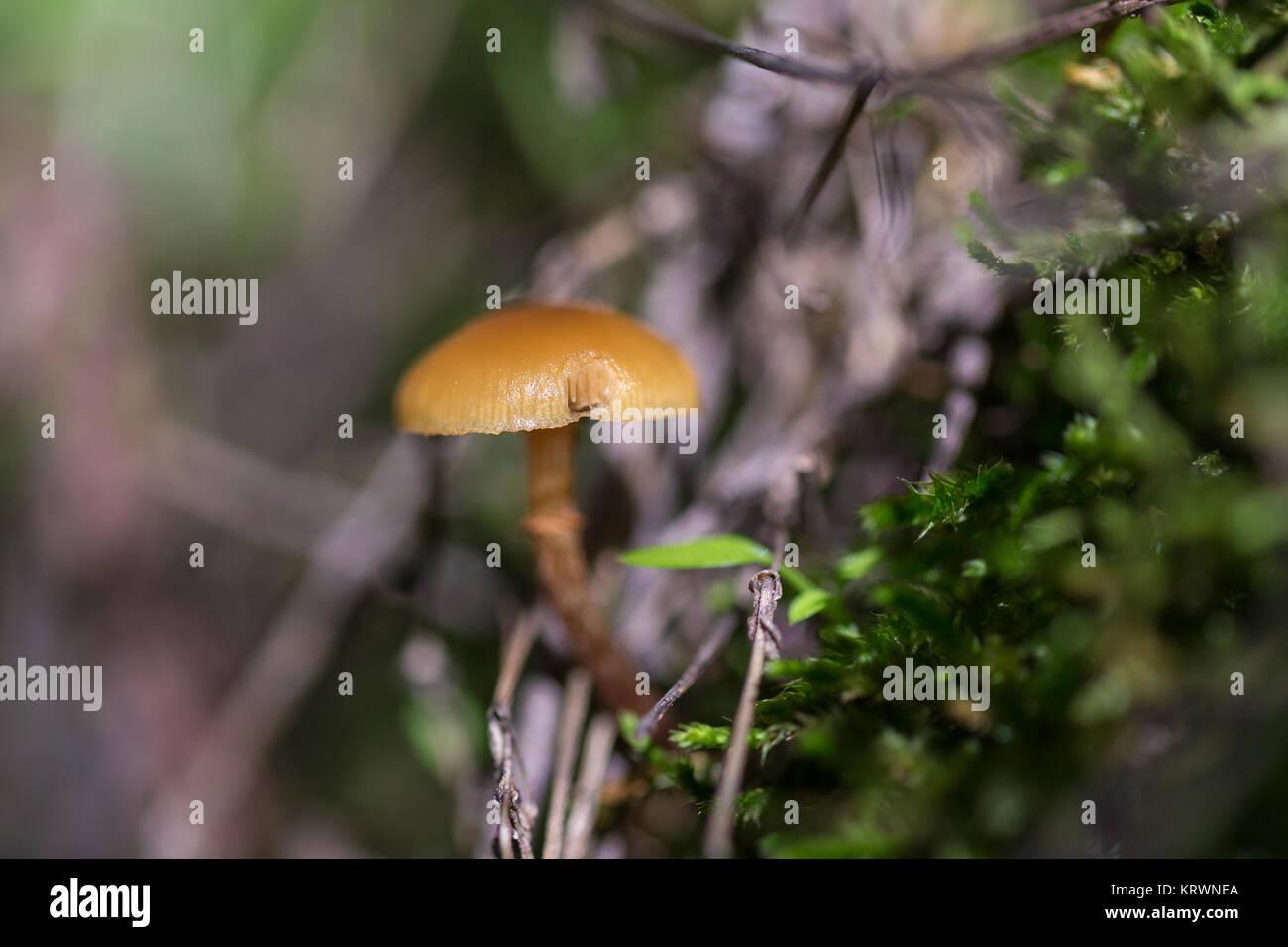 Piccolo fungo arancione fotografato in un bosco di castagni. Immagini Stock