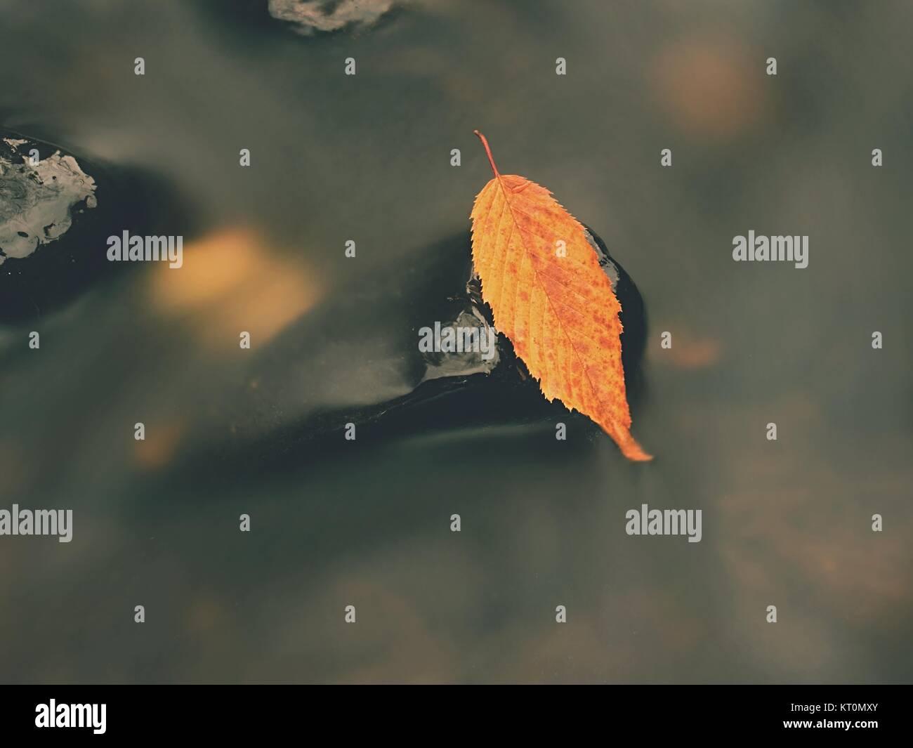Giallo arancione marcio vecchia foglia di faggio su pietre di basalto in freddo acqua sfocata del fiume di montagna, Immagini Stock