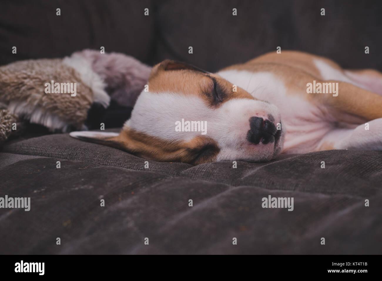 Un pit bull mix 7 settimane vecchio cucciolo dorme su un lettino di grigio. Immagini Stock