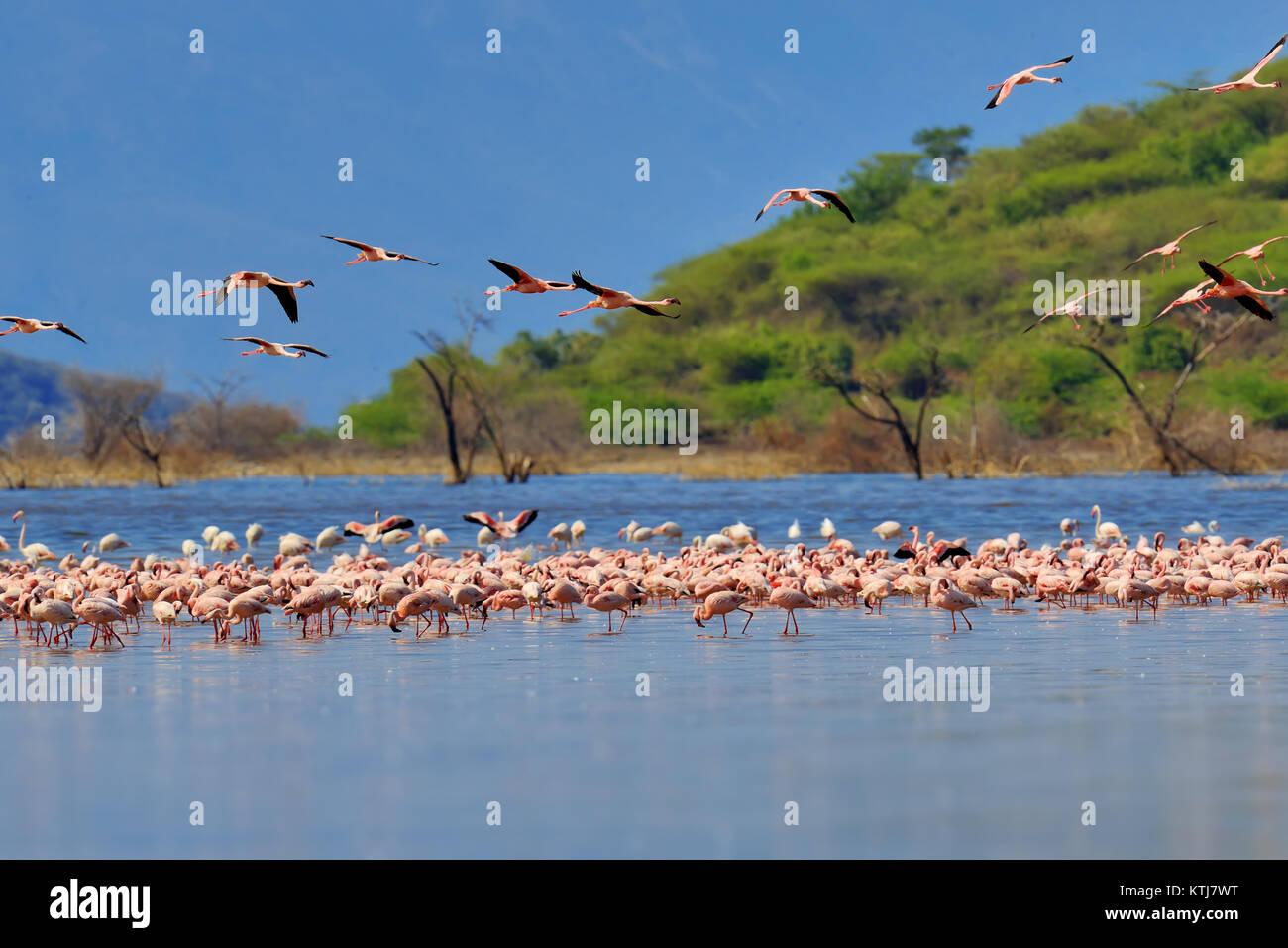 Stormo di fenicotteri wading nella laguna poco profonda l'acqua. Kenya, Africa Immagini Stock